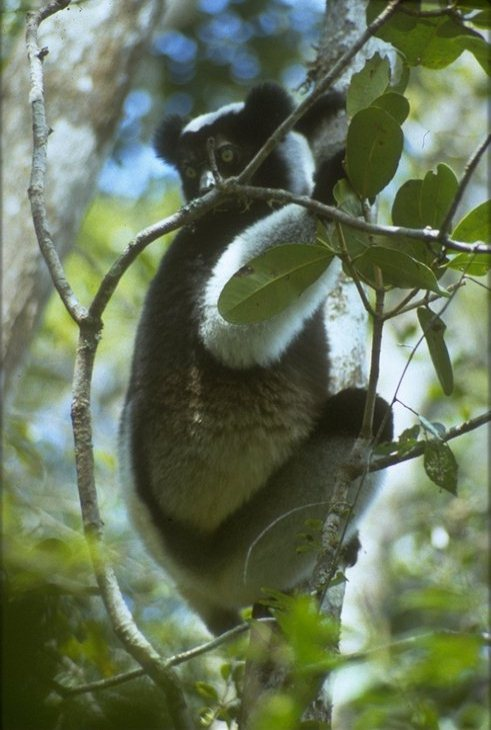 photograph of indri in a tree