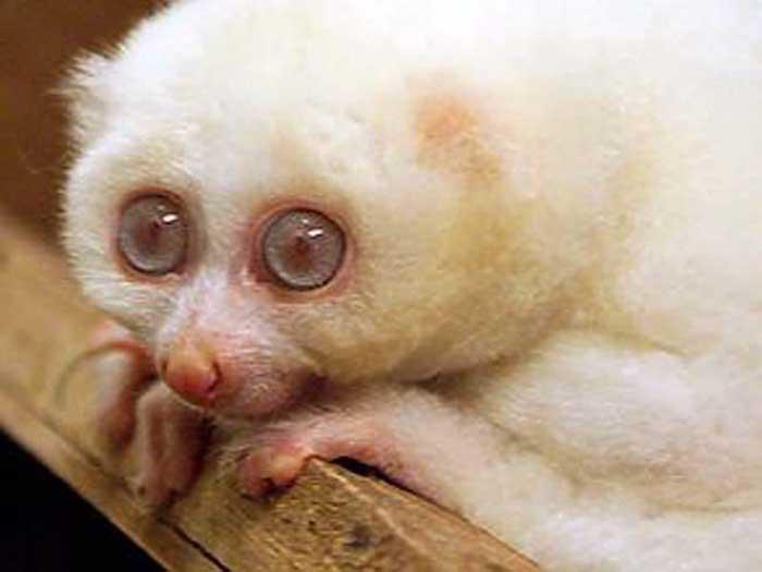 [img]http://www.primates.com/albino.jpg[/img]