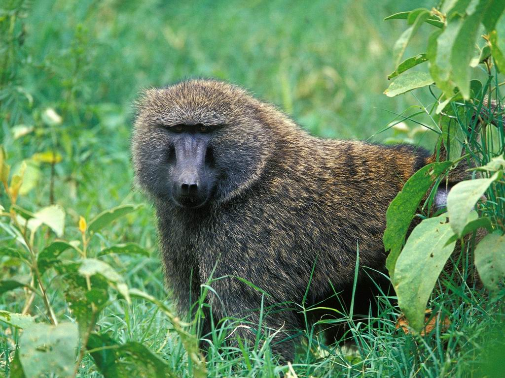 primates.com : Cercopithecidae : olive baboon