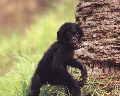 http://primates.com/bonobos/babybonobo.jpg
