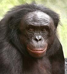 Канзи, обезьяна, которая знает английский