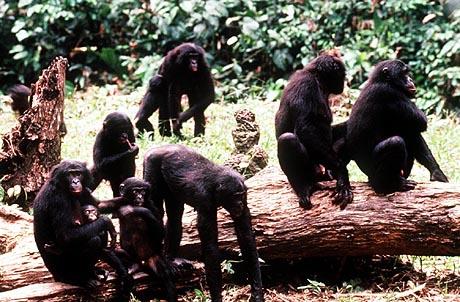 picture of troop of bonobos