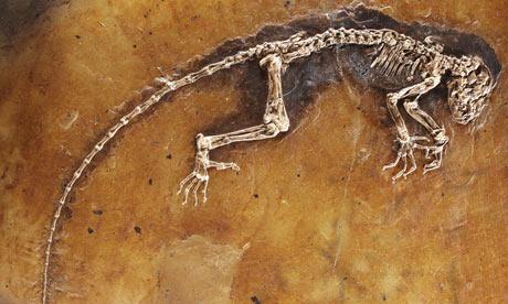 Darwinius massilae