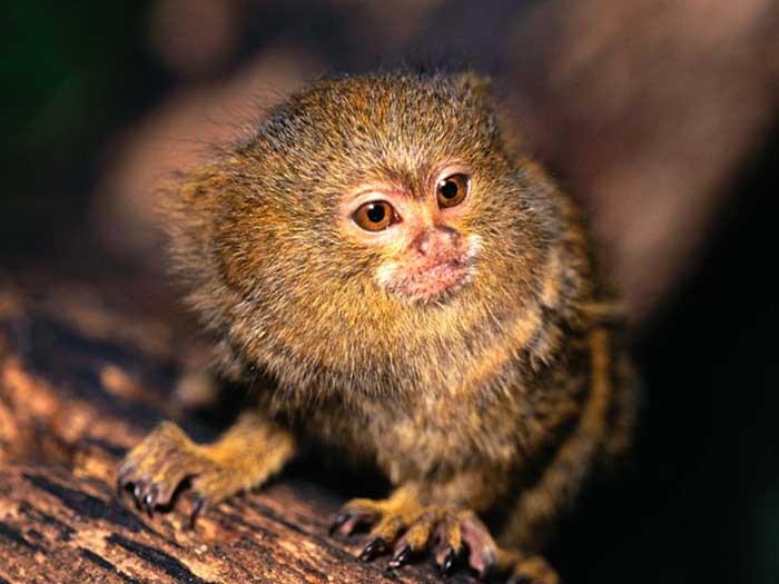http://www.primates.com/marmosets/pygmy-marmoset.jpg