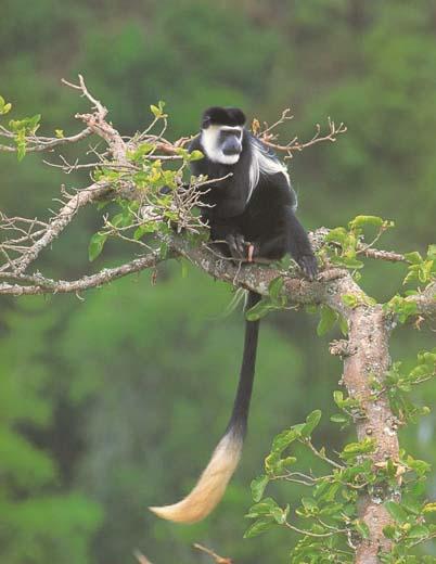Black And White Colobus Monkey Black And White Colobus Monkey