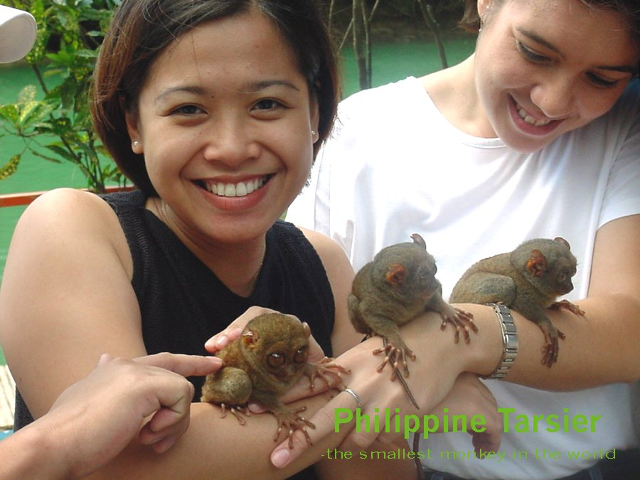photograph of a Philippine tarsier