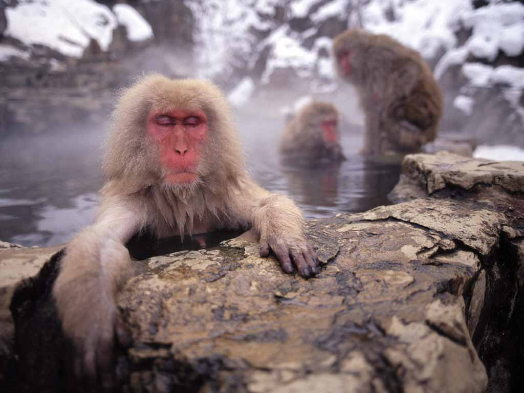 Snow Monkey Pictures - Japanmacaque