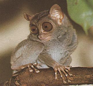 a47b272d777 ... tarsier-picture.jpg (323x300) ...